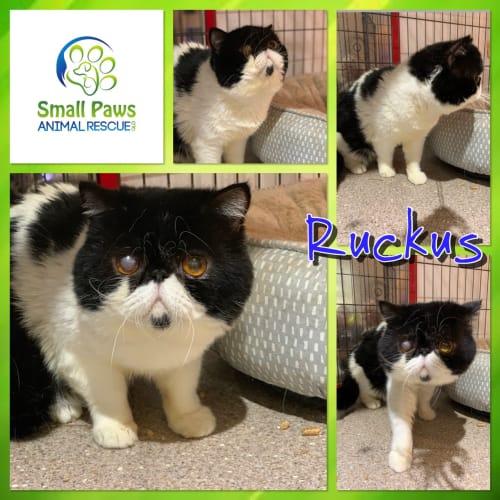 Ruckus - Exotic Shorthair Cat