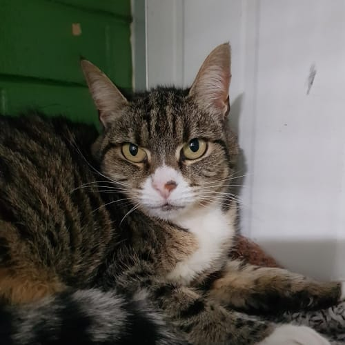Bunny ID47410 - Domestic Short Hair Cat