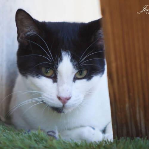 450 - Mooney - Domestic Short Hair Cat