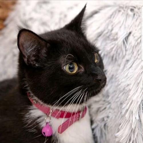 268 - Shazza - Domestic Short Hair Cat