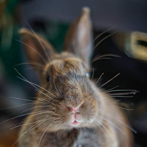 Monica - Domestic Rabbit