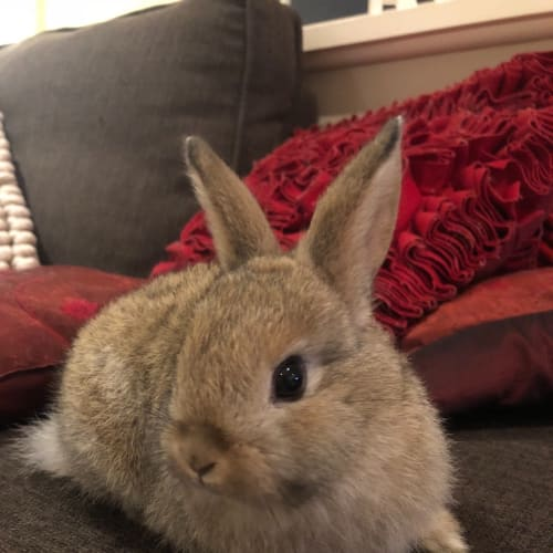 Baby Bun!  - Domestic Rabbit