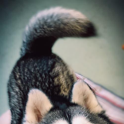Meeko - Siberian Husky Dog