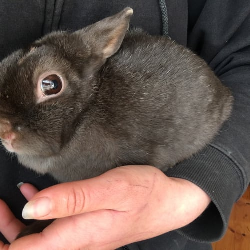 Boss  - Netherland Dwarf Rabbit