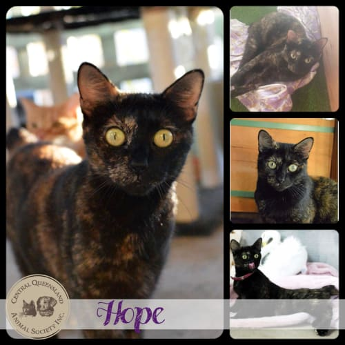 Hope - Manx Cat