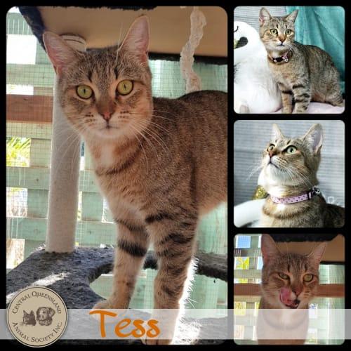 Tess - Domestic Short Hair Cat