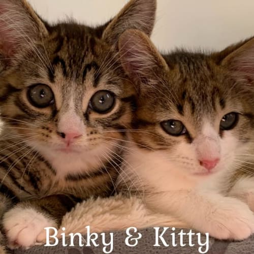 Binky and Kitty Purry - Domestic Short Hair Cat