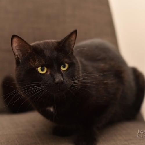 1225 - Spartan - Domestic Short Hair Cat