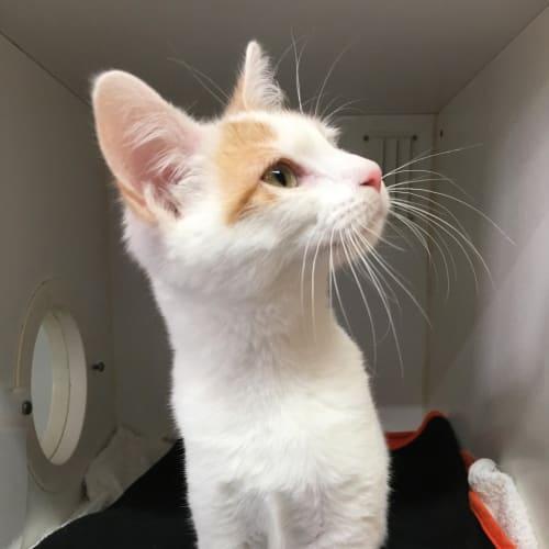 Aroara - Domestic Short Hair Cat