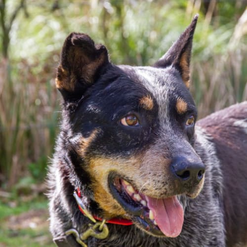 Franky - Cattle Dog