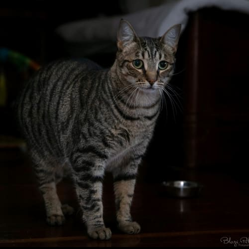 AK1892 - Fyfe - Domestic Short Hair Cat
