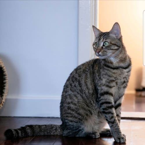 AK3016 - Tyche - Domestic Short Hair Cat