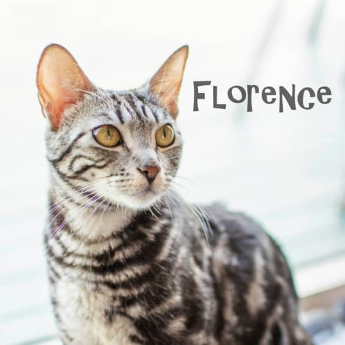 Florence - Domestic Short Hair Cat