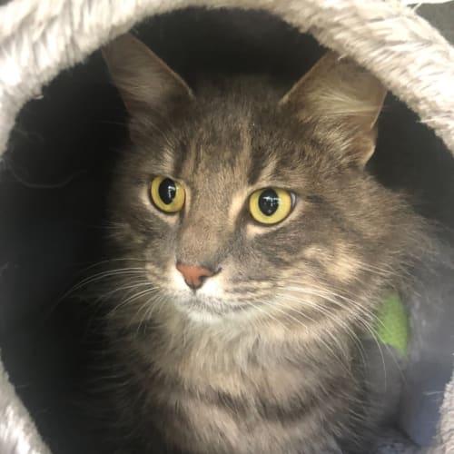 Archie💙 - Domestic Medium Hair Cat