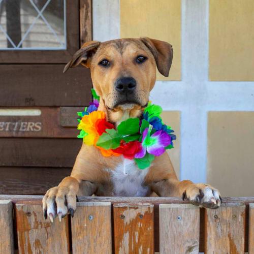Amira ~ sweet Staffy x puppy - Staffy Dog