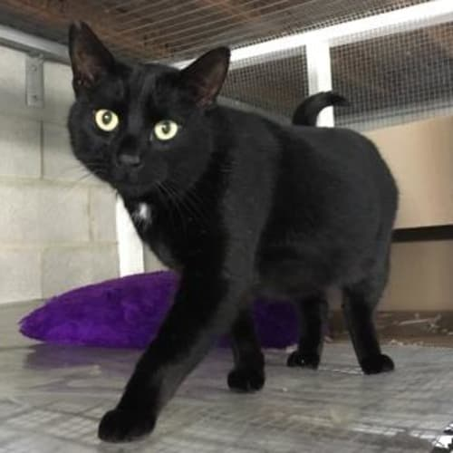 Panther (69916) - Domestic Short Hair Cat