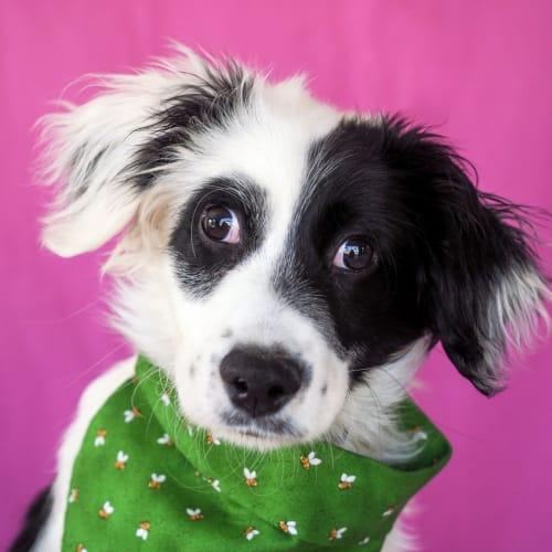 Stevie Wonder - Border Collie x Maltese Dog