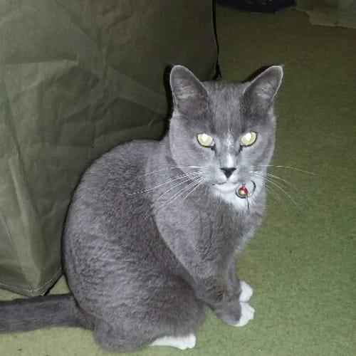 Tavistock - Domestic Short Hair Cat