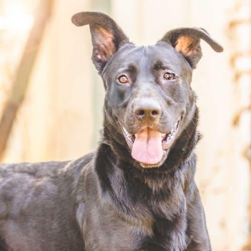 Sampson - German Shepherd x Great Dane Dog