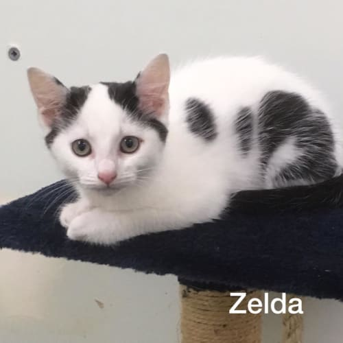 Zelda - Domestic Short Hair Cat