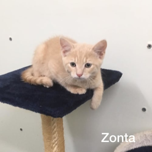 Zonta - Domestic Short Hair Cat