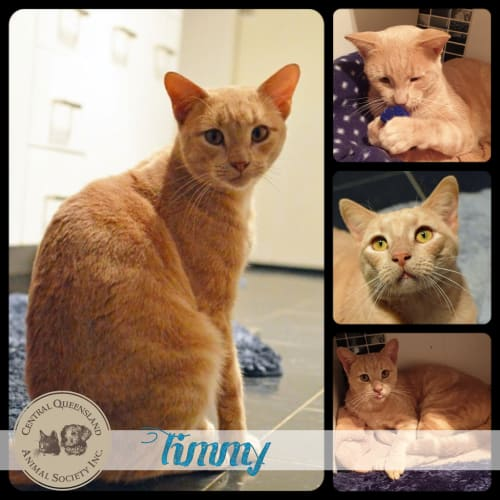 Timmy - Domestic Short Hair Cat