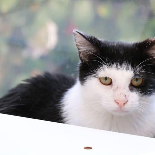 Honey ~ kitten - Domestic Short Hair Cat