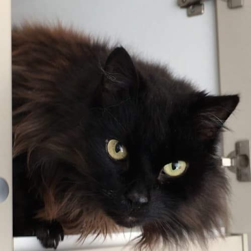 Poppet - Domestic Long Hair Cat