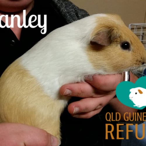 Stanley - Smooth Hair Guinea Pig