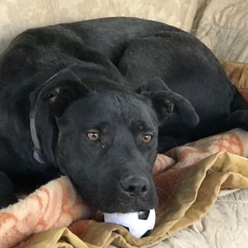 Bonnie - Labrador x Kelpie Dog
