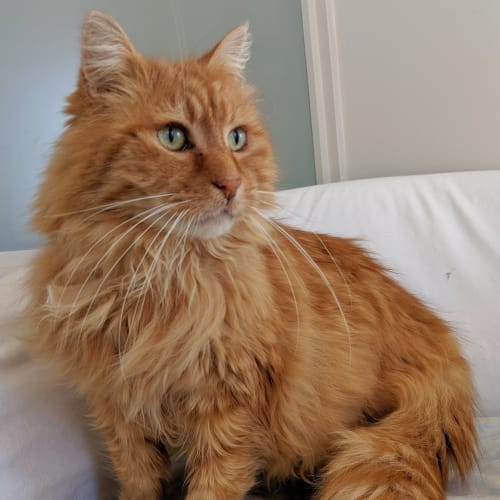 Bubba - Domestic Long Hair Cat