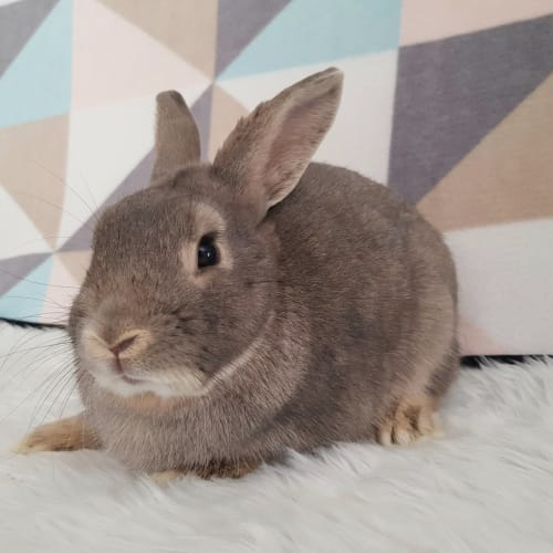 Denver - Dwarf Rabbit