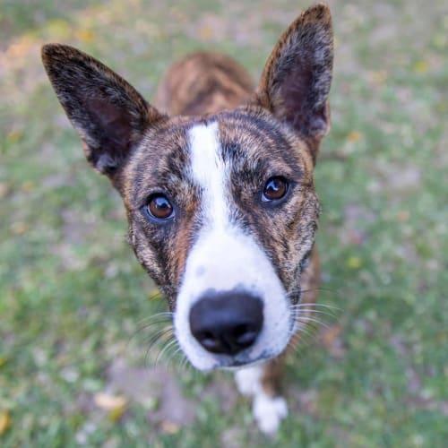 Bindi - Staffordshire Bull Terrier x Australian Cattle Dog
