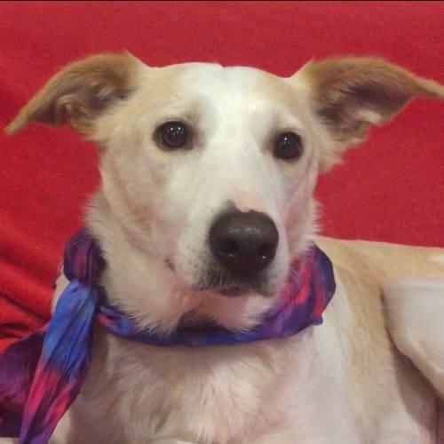Summer ~ 6 year Border Collie - Border Collie Dog