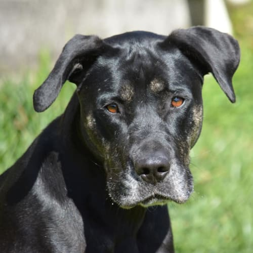 Nelly - Mastiff Dog