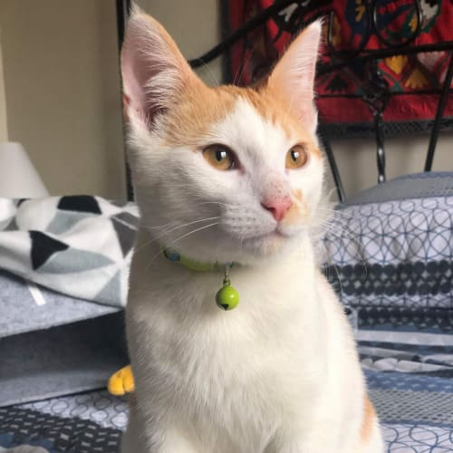 Butters - Domestic Short Hair Cat
