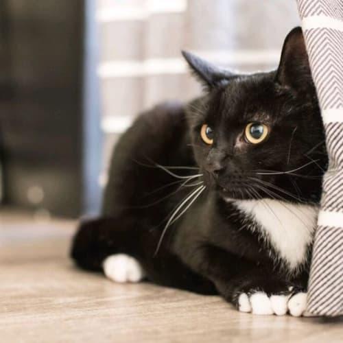333 - Tanami - Domestic Short Hair Cat