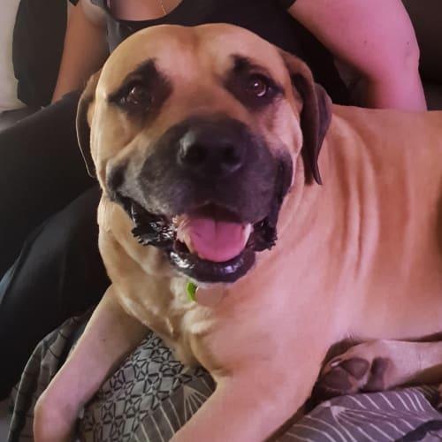 Hank - Bullmastiff Dog