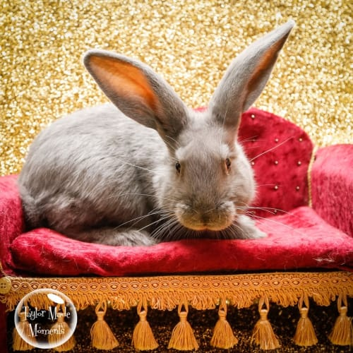 Terrance - British Giant Rabbit