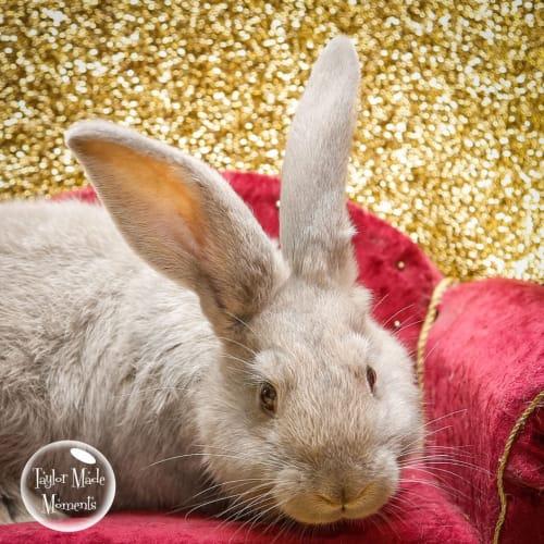 Tabbitha - British Giant Rabbit