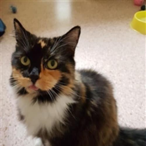 Zoey - Domestic Medium Hair Cat