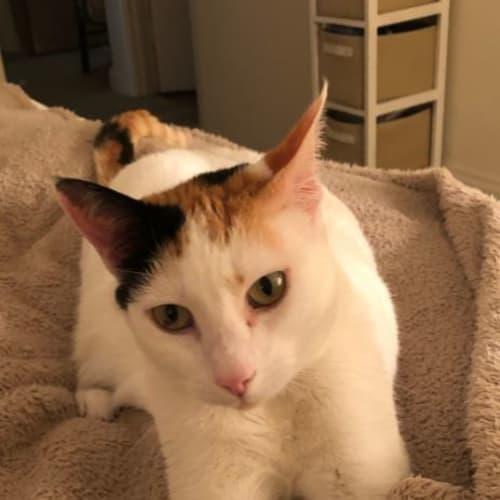 Maggie - Domestic Short Hair Cat