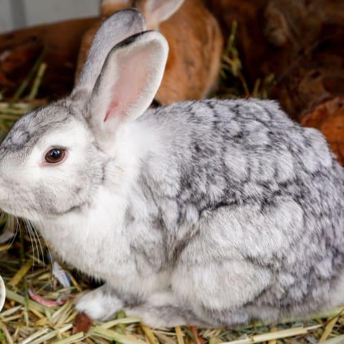 Silver - Lop Eared Rabbit