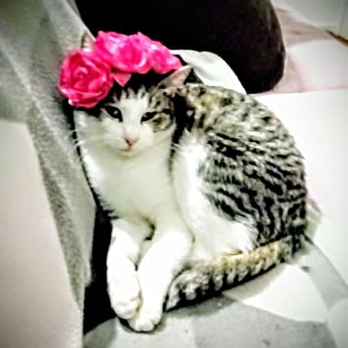 💞 Cuddle bunny Georgia - Domestic Short Hair Cat