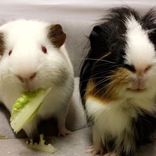 Zebedee & Willoughby - Smooth Hair x Himalayan Guinea Pig