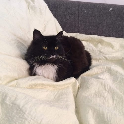 Kasha (Located in Thorbury) - Domestic Medium Hair Cat