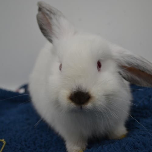 Dumbledore - Dwarf lop Rabbit