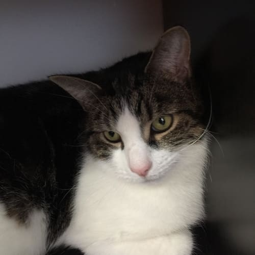 Stuart -  Meet me in Cat Lounge/Neko HQ Preston - Domestic Short Hair Cat
