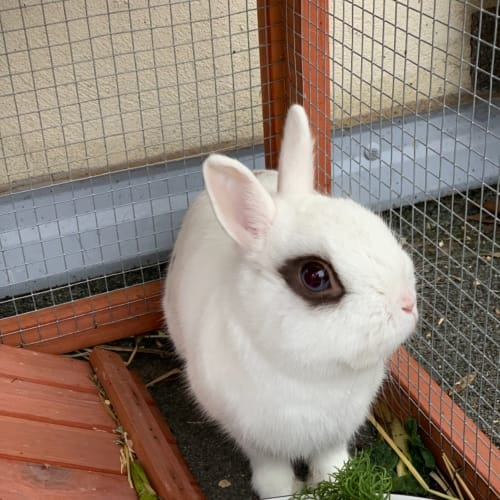 Woody - Netherland Dwarf Rabbit