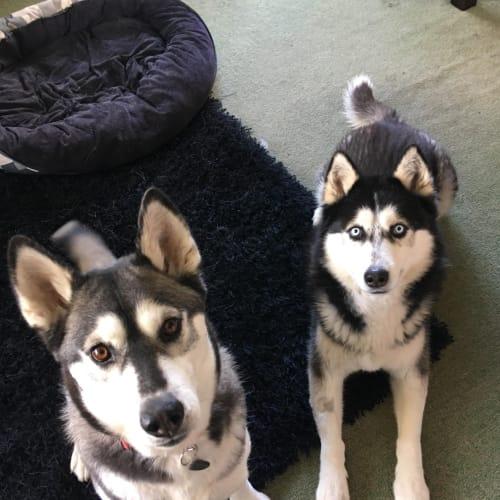 Rocky & Mika - Siberian Husky Dog